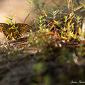 Wild Butterfly by James Hennis