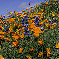 Wild California Poppies And Lupine by Jay Billings