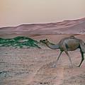 Wild Camel by Charles McKelroy