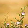 wild caper plant Capparis spinosa by Alon Meir