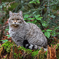 Wild Cat On Tree Trunk by Arterra Picture Library