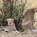 Wild Cheetahs by Michael Paskvan