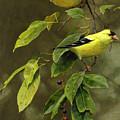Wild Cherries And Wild Canaries by Ed Yanok