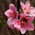 Wild Cherry Blossom by Grant Groberg