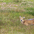 Wild Chinese Water Deer  by Chris Smith