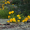 Wild Coreopsis On Hughes Mountain 1 by Greg Matchick