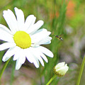 Wild Daisy With Visitor by Sally Sperry