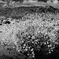 Wild Desert Flowers Blooming In Black And White In The Anza-borrego Desert State Park by Randall Nyhof