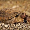 Wild Desert Tortoise Saguaro National Park by Steve Gadomski