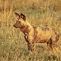 Wild Dog Of Botswana by Kay Brewer