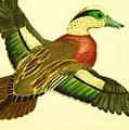 Wild Duck by Jamey Balester