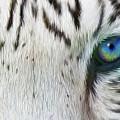 Wild Eyes - White Tiger by Carol Cavalaris