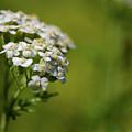 Wild Field Flowers by Henri Irizarri