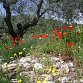 Wild Flowers And Olive Tree by Fraser McCulloch
