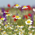Wild Flowers Field Nature Spring Scene by Goce Risteski