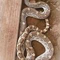 Wild Friendly Gopher Snake by Judy Kennedy