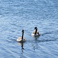 Wild Geese In Stendorren by Chani Demuijlder