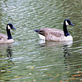 Wild Geese On A Lake 6 by Jeelan Clark