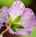 Wild Geranium After The Rain by KG Photography