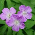 Wild Geranium Triplet  by Alan Lenk