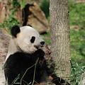 Wild Giant Panda Bear Eating Bamboo Shoots by DejaVu Designs
