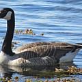 Wild Goose In Stendorren by Chani Demuijlder