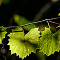 Wild Grape Leaves by Christopher Holmes