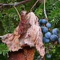 Wild Grapes by Edward Sobuta