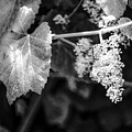 Wild Grapes In Light 2 by Jeanie Mann