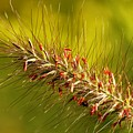 Wild Grass 4 by Jim  Darnall