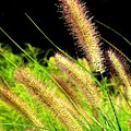 Wild Grass by Jim  Darnall