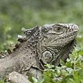 Wild Green Iguana Iguana Iguana At Los by Rich Reid