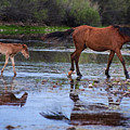 Wild Horse And Foal Cross Salt River by Dave Dilli