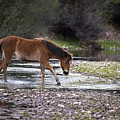 Wild Horse Crosses Salt River by Dave Dilli