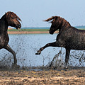 Wild Horse Fight by Artur Baboev