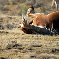 Wild Horse With And Itch by Frank Madia