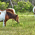 Wild Horses Of Assateague 5 by John Trommer