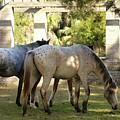 Wild Horses Of Cumberland by Beverly Cummiskey