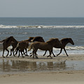 Wild  Horses Run On The Beach by Stacy Gold