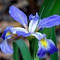 Wild Iris 3 by J M Farris Photography