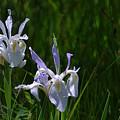 Wild Iris 4 by Ron Glaser