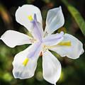 African Iris In Bloom by Adam Rainoff