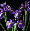 Wild Iris by Nancy Griswold
