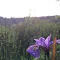 Wild Iris by Wolf Shadow