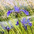 Wild Irises by Marty Saccone