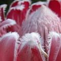 Wild King Protea by Yolandi De Hoog