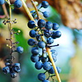 Wild Michigan Grapes by Michael Peychich