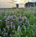 Wild Mints And Foxtail Grasses At Glacial Park by Ray Mathis