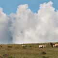 Wild Mongolian Horses by Alan Toepfer