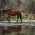 Wild Mother And Foal Horses Walk In The Salt River  by Dave Dilli